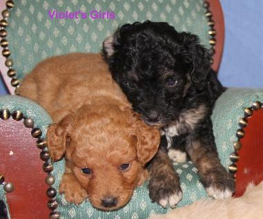 Lets Play Kennels :: Goldendoodles, MiniDoodles