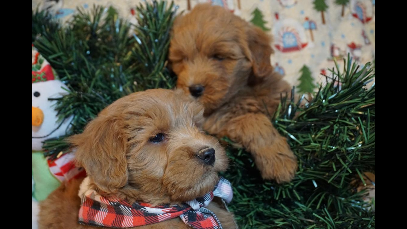 Lets Play Kennels Goldendoodle Puppies Available