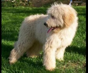 Lets Play Kennels :: Goldendoodle Puppies Available